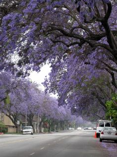 Summer blooming jacarandas on Del Mar in Pasadena, CA  --One of my favorite sights in California
