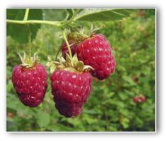 Growing Red Raspberries, Planting Raspberries, How to Grow Raspberries