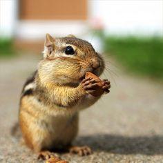 chipmunk cuteness