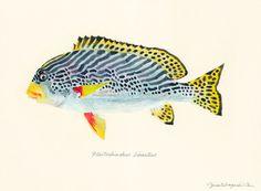"""Plectorhinchus lineatus / Yellowbanded sweetlips / """"Aya-koshoudai"""" (""""アヤコショウダイ Plectorhinchus lineatus : uonofu 魚の譜から)"""