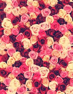 Rose Love ...