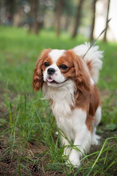 ♥Always wanted on of these Cavalier King Spaniel, Cavalier King Charles Dog, Spaniel Dog, King Charles Spaniel, Cute Baby Dogs, Cute Dogs And Puppies, Doggies, Schnauzers, Dog Blanket