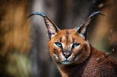 Caracal, Fox, Animals, Animales, Animaux, Animal, Animais, Foxes