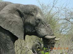 The Elephant, Kruger National Park, South Africa has the most precious eyes. Kruger National Park, National Parks, South Africa, Elephant, Eyes, Places, Animals, Beautiful, Animales