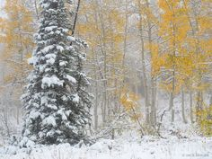 Snowy Pine and Aspens : Wasatch Range, Utah