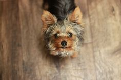 27 Cute Pictures of Yorkshire Terriers (image by hj_west)