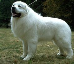 Great Pyrenees My next Dog!