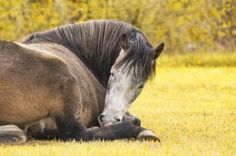 If a horse is not allowed to lie down then after a few days they will become sleep deprived. Description from saddleonline.com. I searched for this on bing.com/images