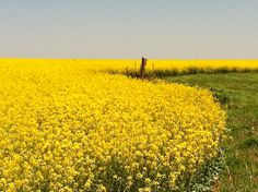 Canola fields in piedmont ok