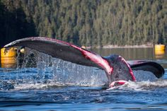 09/14/2016 - WATCH: More than a dozen people, including the local First Nations, risked their own safety to save a humpback whale after it got tangled up in a fish farm anchor line. As Linda Aylesworth reports, they got it all on video.  Fish farms are a BC environmentalist's nightmare.