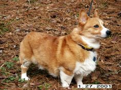 Adopt Hunter:  Hunter is a courtesy posting for the Greater Atlanta Pembroke Welsh Corgi League in Marietta Ga.Meet Hunter  This gorgeous boy is ~ 13 years young and acts like a 10 year old.  He was placed by Atlanta Corgi Rescue league when he was ~ 5 years old...