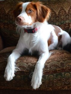 Brittany Spaniel among the 5 dog breeds that like to cuddle the most :)