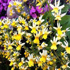 """nemesia sp. """"bart simpson"""" looking totally rad. dude. @ Annie's Annuals & Perennials"""