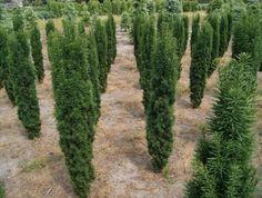 S27 Taxus baccata 'Fastigiata Robusta' upright/columnar evergreen shrub