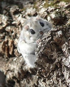 The pteromys momonga is a Japanese dwarf flying squirrel, weighing between 150 and 220 grams. And wouldn& you know, it& rather adorable. Animals And Pets, Baby Animals, Funny Animals, Cute Animals, Japanese Dwarf Flying Squirrel, Cute Squirrel, Squirrels, Little Critter, Kawaii Cute