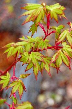 Fjelheim Dwarf Coral Bark Japanese Maple - Beautiful Coral Red Bark. 1 - Year Live Plant