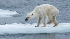 Um fotógrafo alemão chocou internautas ao compartilhar em uma rede social a imagem de urso polar excessivamente magro e escrever um alerta sobre a mudança...
