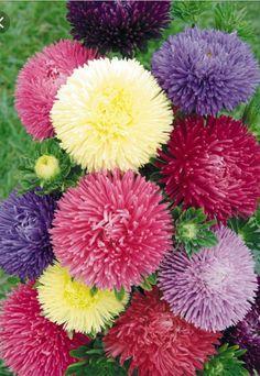 Aster Ostrich Plume Mixed 100 Finest UK seeds