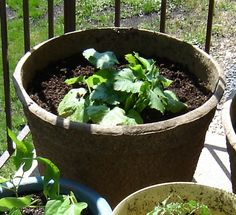 Growing zucchini on my patio. I'm going to do this... Some good advice here including hand pollinating