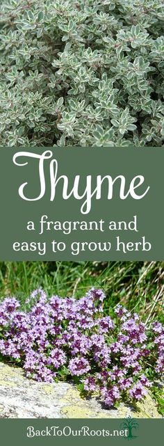 Its About Thyme ~ A