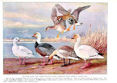 Bird Print - Geese - Ross's Goose, Blue Goose, Lesser Snow Goose - 1932 Book Page from Vintage Bird Book -10 x 7