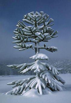 snow on the monkey puzzle tree