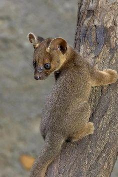 Fossa - Endangered Animal - Vulnerable