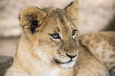 Lion Cub, Mammals, Cubs, Park, Bear Cubs, Parks, Tiger Cubs, Newborn Puppies, Baby Animals