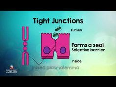 Essential Human Biology: Epithelial Tissue - Cell Junctions - YouTube
