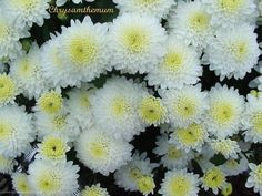 crisantemo Chrysanthemum, Most Beautiful Pictures, Cool Pictures, How To Make Paper, Perennials, Beautiful Flowers, Daisy, Gardening, Twitter