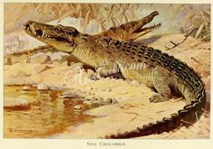 reptiles_and_amphibias-00915 NNile Crocodile ArtsCult.com Artscult ArtsCult vintage printable public domain 300 dpi commercial use 1800s 1700s 1900s Victorian Edwardian art clipart royalty free digital download picture collection pack paintings scan high qulity illustration old books pages supplies collage wall decoration ornaments Graphic engravings lithographs century 18th 17th Pictorial fabric transfer scrapbooking Paper craft insta