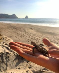 """Puerto Lopez, Ecuador @coopersiep - """"I was working with a turtle conservation organization on the coast of Ecuador. We would check old hawksbill turtle nests to see if there were any babies stuck in the sand. This little guy was saved and we watched him waddle into the ocean."""""""