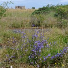 Here are some more Scots bluebells. These exceptionally large and lush examples are - somewhat poignantly - growing on what was the main runway of the wartime aerodrome of RAF Dallachy, in Moray. More on this Strike Wing and its memorial on a blog piece found by clicking the link.