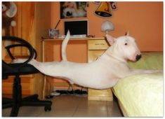 It must be comfy, typical clown moments of life with an English Bull Terrier