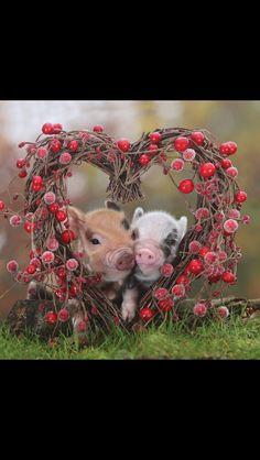 Happy valentines day pigs!!