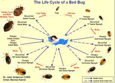 The life cycle of a Bed Bug