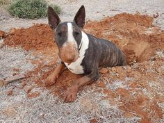 Uplifting So You Want A American Pit Bull Terrier Ideas. Fabulous So You Want A American Pit Bull Terrier Ideas. Chien Bull Terrier, Bull Terrier Funny, Pitbull Terrier, I Love Dogs, Cute Dogs, Animals And Pets, Cute Animals, Sweet Dogs, Miniature Bull Terrier