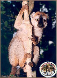 Red-fronted Brown Lemur, Eulemur fulvus rufus - Berenty, Madagascar