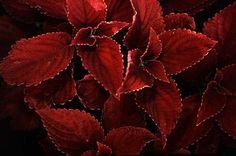 Coleus - 'Burgundy Sun' SuperSun Coleus