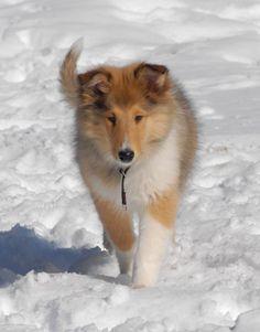 My Rough Collie Puppy. Photo© Wendy Hammond 2013