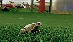 PlushGrass Custom Synthetic Turf's unexpected visitor on the indoor artificial grass putting green.