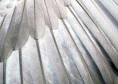 Swan wing closeup