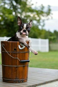 Boston Terrier with Googly Eyes ❤