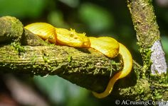 Costa Rica Wildlife | Intimate Encounters Around Arenal Volcano - A Yellow Eyelash Viper