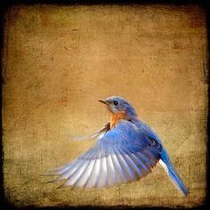 Bluebird Photograph bird flying flight blue  8x8  door SherriConley, $30.00