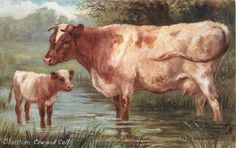 SHORTHORN COW AND CALF