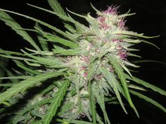 Purple Chitral Grow