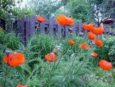 Growing Oriental Poppies: Tips On How To Grow Oriental Poppy (I wonder if they will grow here. I love poppies.) #gardenideasflower