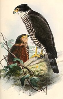 Semicollared Hawk - Wikipedia, the free encyclopedia