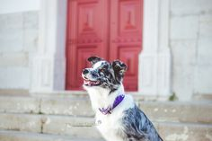 Cheza Blue Merle Border Collie by Mariiana Capela